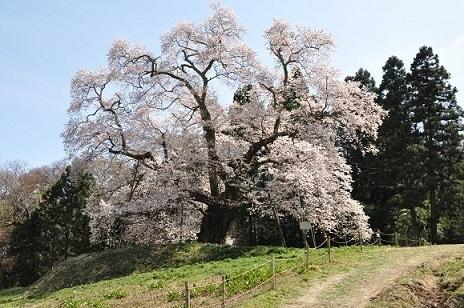 秋山の駒ザクラ.JPG