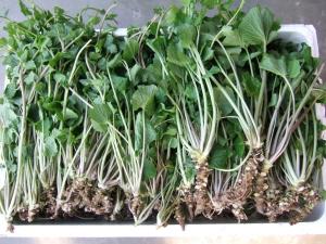 山菜収穫03.JPG