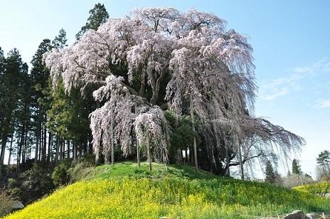 合戦場のしだれ桜.JPG